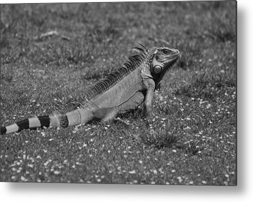 Macro Metal Print featuring the photograph I Iguana by Rob Hans