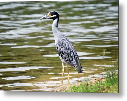 Bird Metal Print featuring the photograph Blue Heron by Teresa Blanton