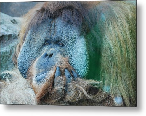 Animals Metal Print featuring the photograph Clyde by Robert Boyette