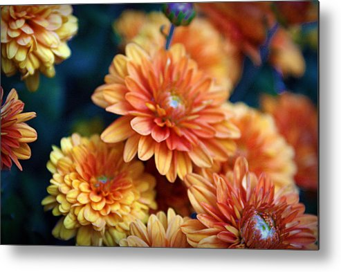 Flowers Metal Print featuring the photograph Copper Mums by Cricket Hackmann