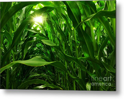 Agriculture Metal Print featuring the photograph Corn Field by Carlos Caetano