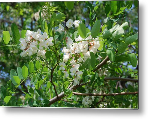 Black Locust Metal Print featuring the photograph Dont I Look Amazing In White by Rob Fairbairn