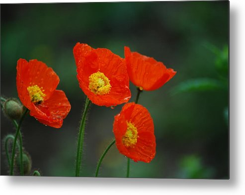 Poppy Metal Print featuring the photograph Four Poppies by Lori Tambakis