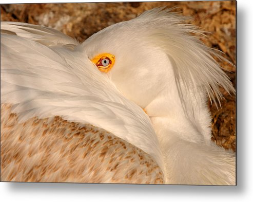 Bird Metal Print featuring the photograph Great White Pelican by Dennis Hammer