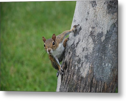 Squirrel Metal Print featuring the photograph Hanging On by Rob Hans