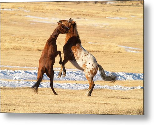 Horses Metal Print featuring the photograph Horseplay by Lauren Munger