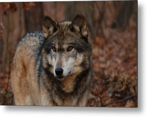 Wolf Metal Print featuring the photograph Majesty by Lori Tambakis