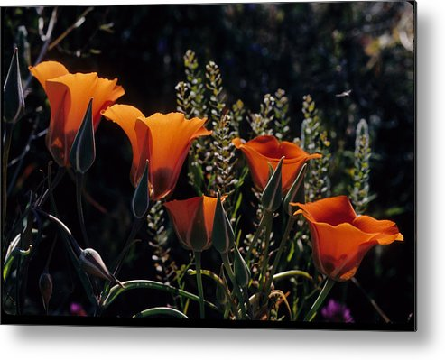 Arizona Desert Photography Metal Print featuring the photograph Mariposa Lily by John Gee