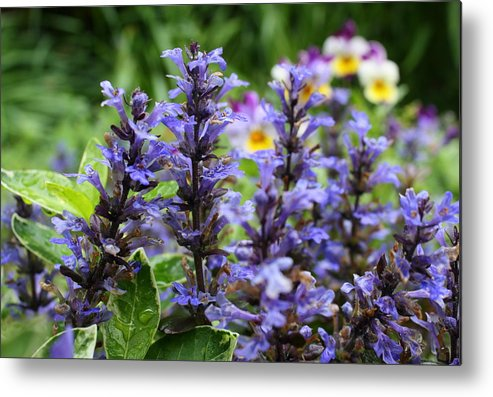 Ajuga Metal Print featuring the photograph Purple Forest by Annie Babineau