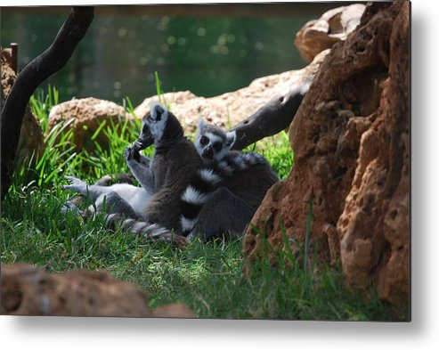 Animals Metal Print featuring the photograph Strips by Lakida Mcnair