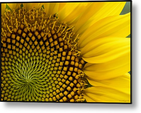 Flora Metal Print featuring the photograph Sunflower Study by Daniel G Walczyk