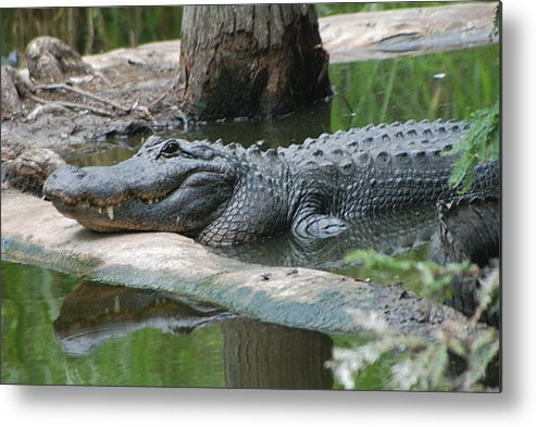 Florida Metal Print featuring the photograph The Other Florida Gator by Margaret Fortunato