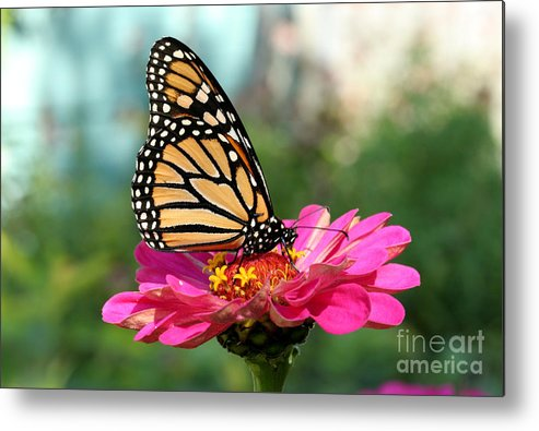 Monarch Butterfly Metal Print featuring the photograph Zinnia With The Monarch by Steve Augustin