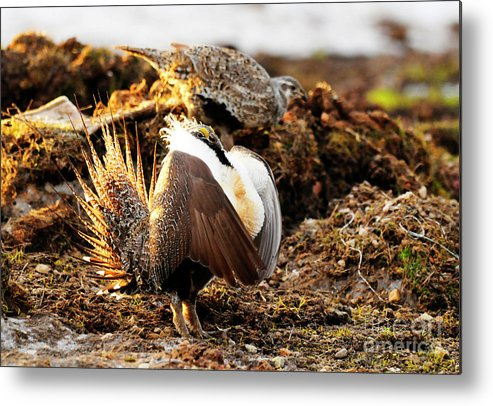 Bird Metal Print featuring the photograph Sage Grouse by Dennis Hammer