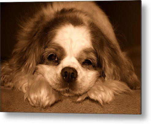 Dog Metal Print featuring the photograph Belle Awake by Kathi Shotwell