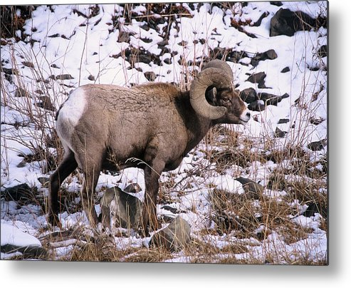 Big Horn Sheep.nothern Yellowstone Metal Print featuring the photograph Standing Alone by Greg Payne
