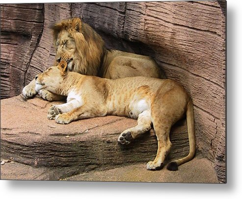 Lions Metal Print featuring the photograph The Lions by Michele Caporaso