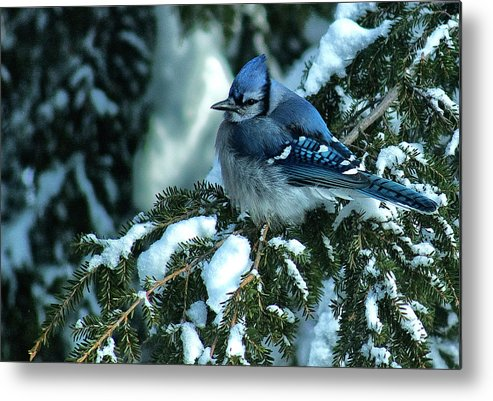 Blue Jay Metal Print featuring the photograph Winter Blue Jay by Andrew Oliver