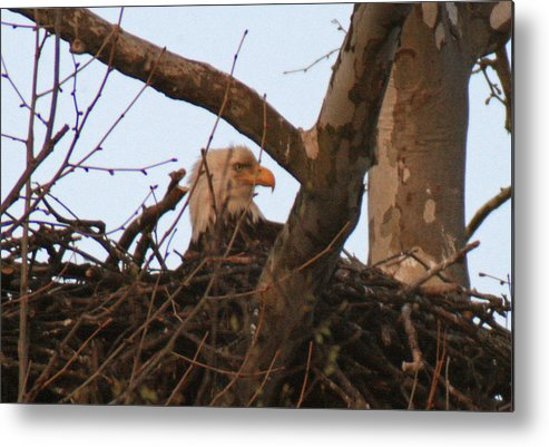 Eagle Metal Print featuring the photograph Wyattville Eagle by Gene Rugh