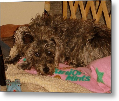 Dog Metal Print featuring the photograph Buddy by Lessandra Grimley