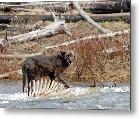 Gray Wolf Metal Print featuring the photograph Gray Wolf With Elk Kill by Dennis Hammer