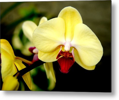 Orchid Yellow Flower Print Art For Sale Metal Print featuring the photograph Yellow Orchid by Patrick Short