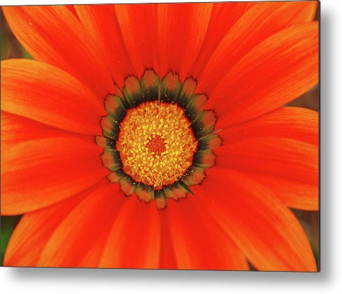 Daisy Metal Print featuring the photograph The Beauty Of Orange by Lori Tambakis