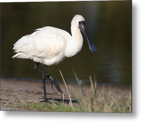 Water Bird Metal Print featuring the photograph Spoonbill by Masami Iida