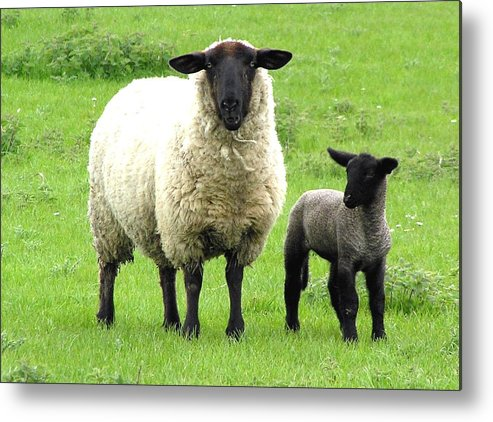 Sheep Metal Print featuring the photograph Baa Baa by Jeanette Oberholtzer