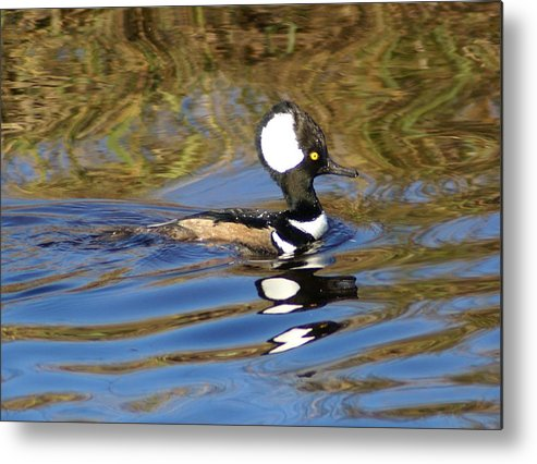 Duck Metal Print featuring the photograph Hooded Mersanger by Debbie May