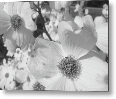 Dogwood Metal Print featuring the photograph Spring Has Sprung by WaLdEmAr BoRrErO