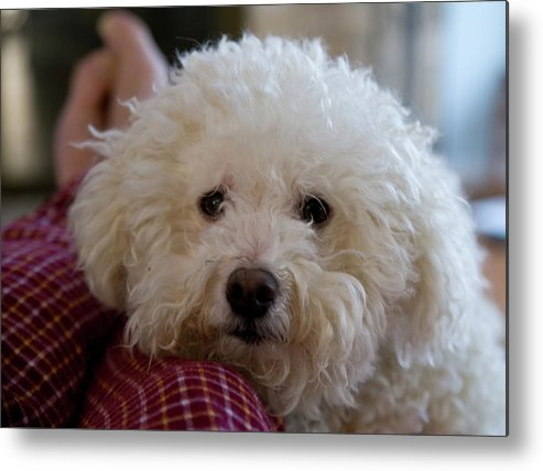Yogi Metal Print featuring the photograph Mans Best Friend by Jerry Frishman