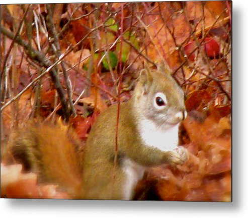 Red Tail Squirrel Metal Print featuring the photograph Red Tail Squirrel by Debra   Vatalaro