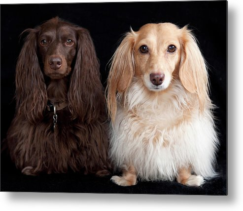 Horizontal Metal Print featuring the photograph Two Dachshunds by Doxieone Photography