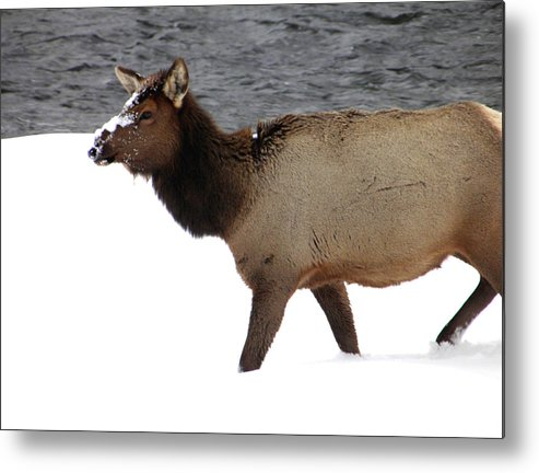 Elk Metal Print featuring the photograph Yellowstone Elk by Meagan Visser