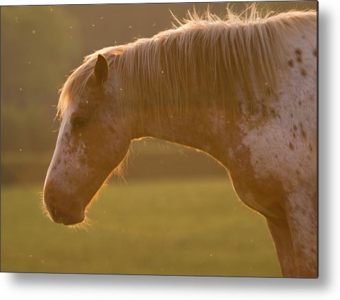 Horse Metal Print featuring the photograph Horses In The Evening Light by Angel Ciesniarska
