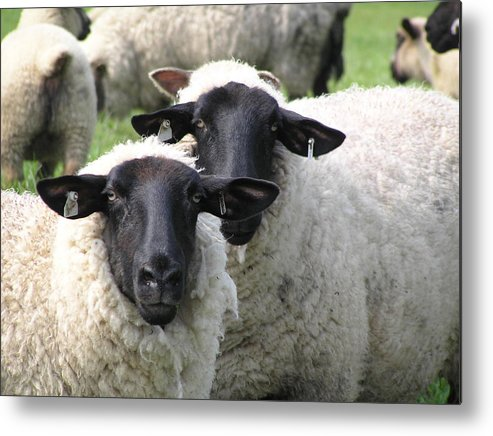 Sheep Metal Print featuring the photograph Baa Friends by Jeanette Oberholtzer