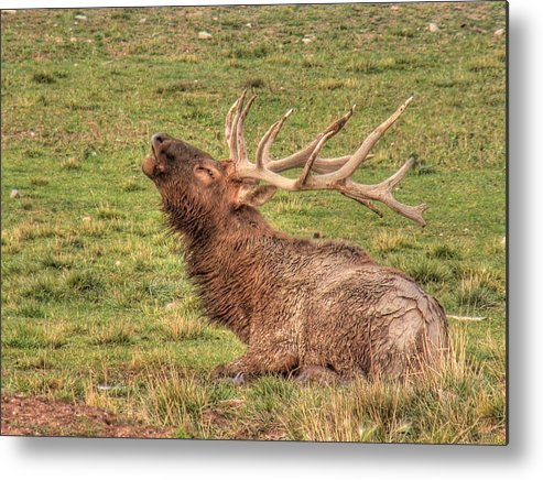 Elk Metal Print featuring the photograph Bugling Elk by Linda Weyers