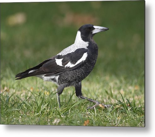 Bird Metal Print featuring the photograph Magpie by Masami Iida