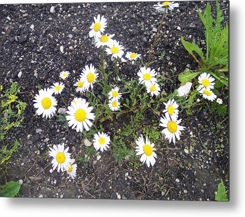 Daisy Nature Asphalt Flowers Metal Print featuring the photograph Up From The Asphalt I by Anna Villarreal Garbis