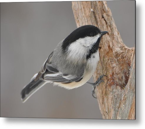 Bird Metal Print featuring the photograph Black Capped Chickadee by Raju Alagawadi