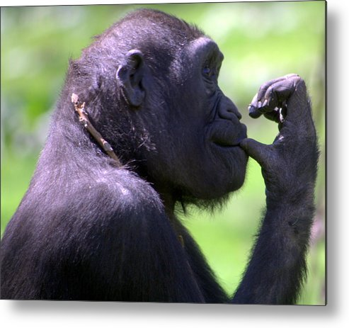 Monkey Metal Print featuring the photograph Monkey Thinking by April Holgate