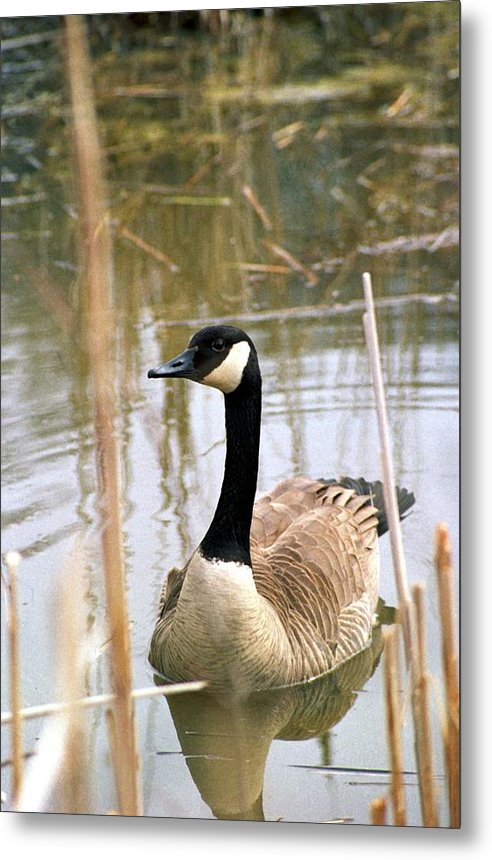 Canada Goose Metal Print featuring the photograph 070406-41 by Mike Davis