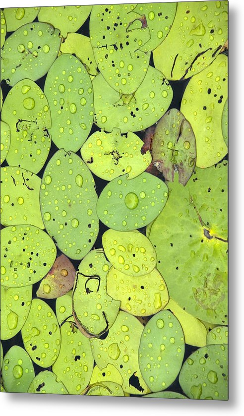 Lily Pads Metal Print featuring the photograph Lily Pads by Jessica Wakefield
