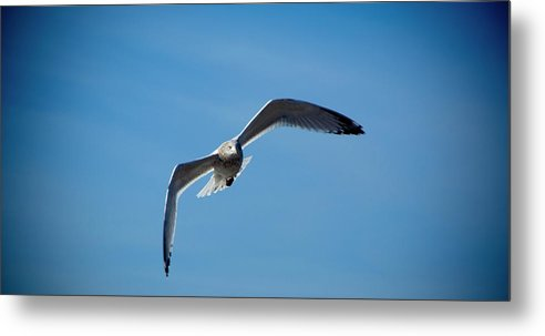 Seagull Metal Print featuring the photograph Seagull In Flight by Steven Natanson