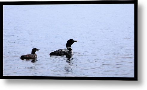 Loon Metal Print featuring the photograph Mom And Baby Loon by Shari Jardina