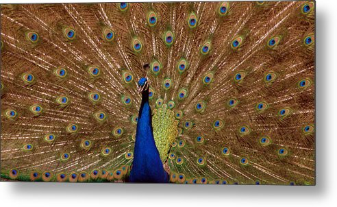 Peakcock Metal Print featuring the photograph Peacock 01 by April Holgate