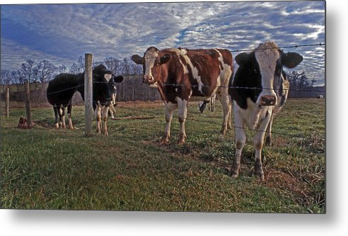Cows Metal Print featuring the photograph Stand Yer Ground by Skip Willits