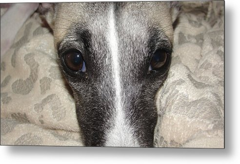Dogs-animal-dogs-whippet-animals Metal Print featuring the photograph Eyes Whippet by Marie-france Quesnel