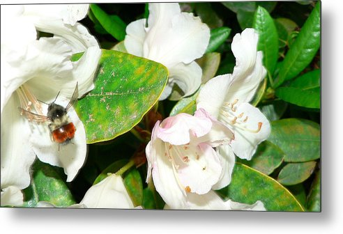 Bee Metal Print featuring the photograph Rhododendron And Bee by Larry Keahey